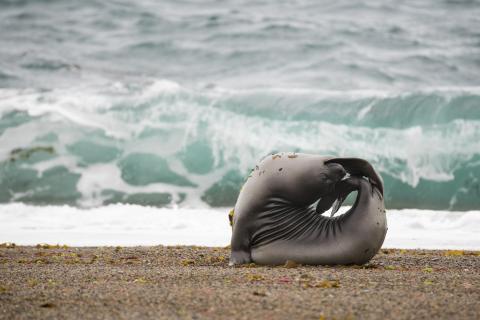 Junge Seelöwin beim Yoga