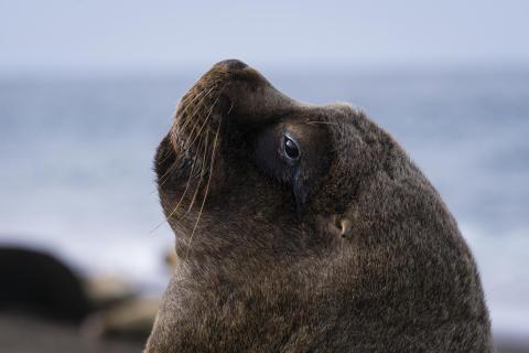 Schöner Seelöwe mit goldenem Ohr
