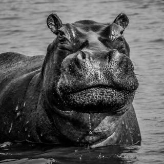 20151102 100 Hippo