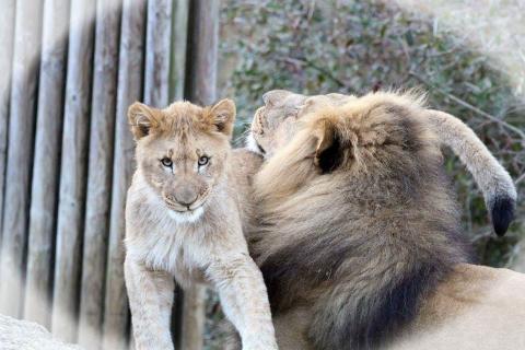 Löwenvater und Sohn