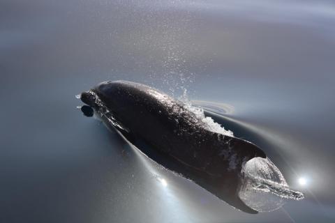 Delphin vor der Südküste von Madeira