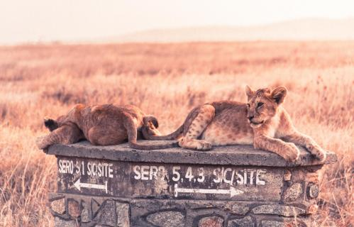 Serengeti Löwen