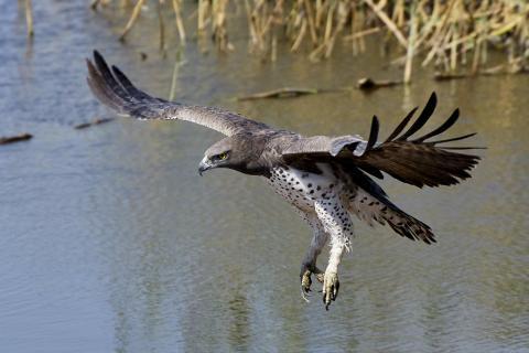 Kampfadler
