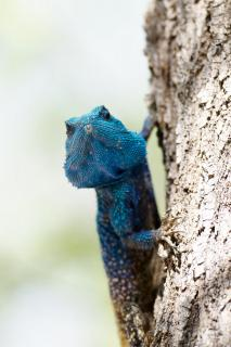 Blaukehlagame