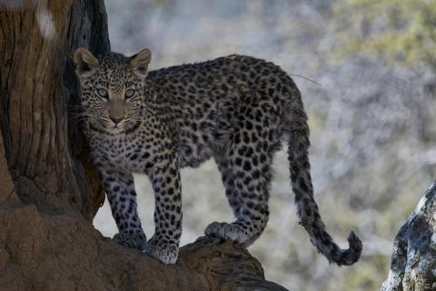 junger Leopard in Namibia