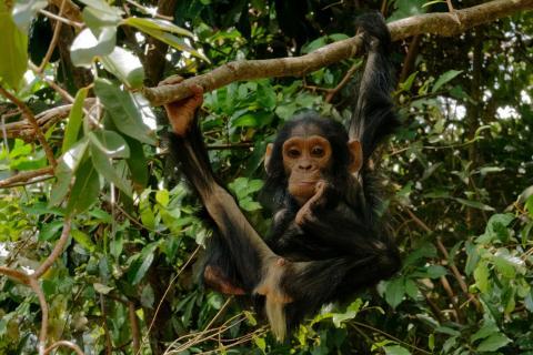 junger Schimpanse 2