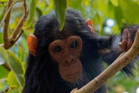 junger Schimpanse 3