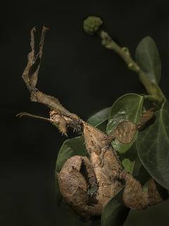 Fangschrecke