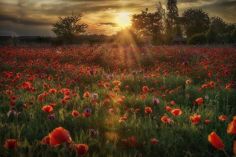 Sonnenuntergang im Mohnfeld