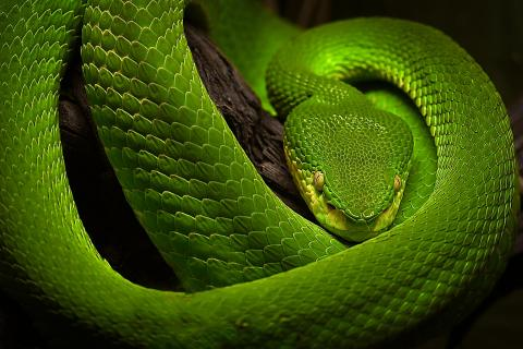 grüne Baumpyton