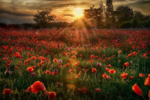Mohnfeld im Sonnenuntergang