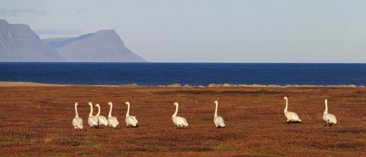 Schwäne beim sightseeing in Island