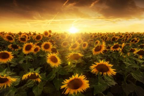 one million sunflowers...