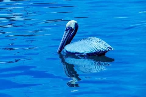 Blue Pelikan