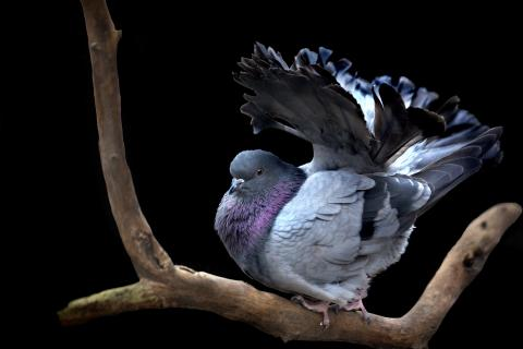 Taube in der Balz
