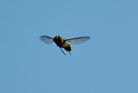 DSC 0496 Schwebeflug