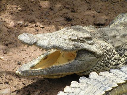 Krokodil entspannt