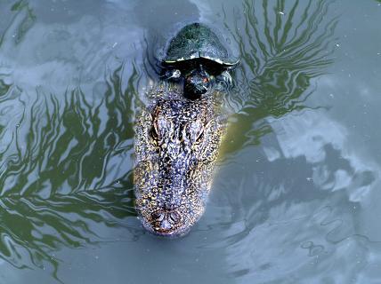 Krokodil mit Beifahrer