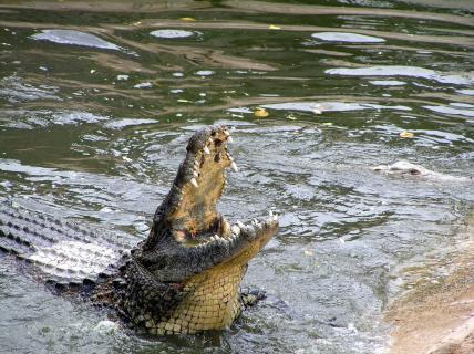 Krokodil hat Hunger