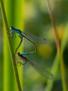 Liebende Libellen