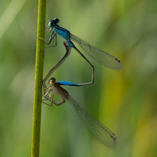 Libellen beim Liebesakt
