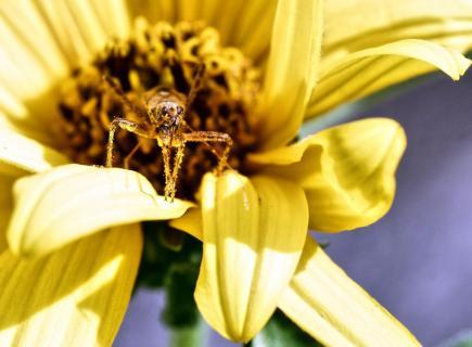 Insekt im Pollenpolster II