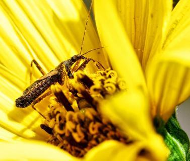 Insekt im Pollenpolster I