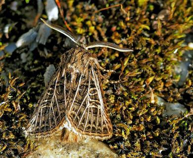 Tholera decimalis - Weißgerippte Lolcheule