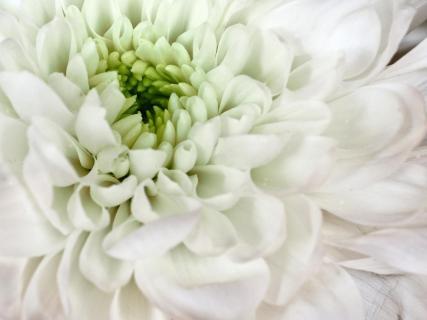 Asternblüte