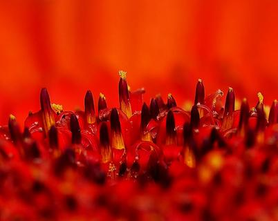 Blütenkopf einer Gerbera