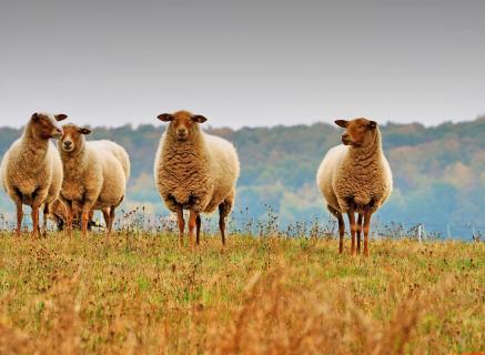 Die Wollelieferanten