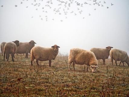 Schafherde im Morgennebel