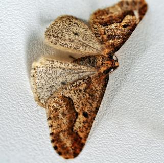 Großer Frostspanner (Erannis defoliara)