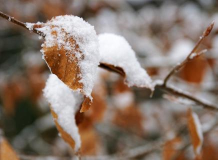 Buchenblätter mit Schneehaube