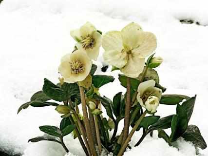 Blütenzauber im Schnee
