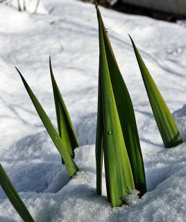 Lanzen im Schnee