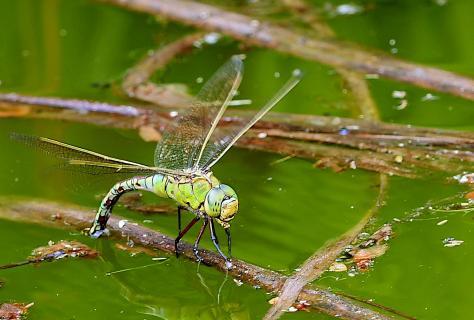 Libelle bei der Eiablage