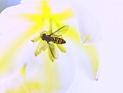 Schwebfliege in einer Yuccablüte