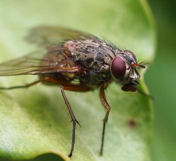 hungrige Fliege