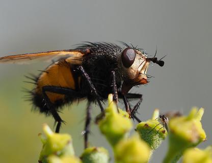 Insekt mit grimmigem Gesicht
