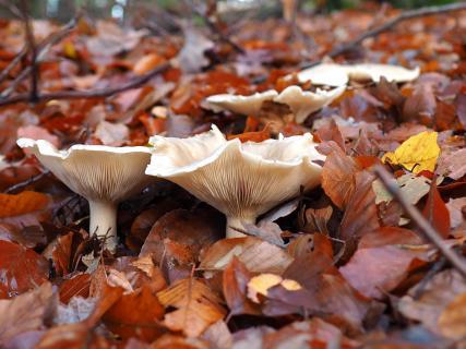 weiße Pilze im bunten Herbstlaub