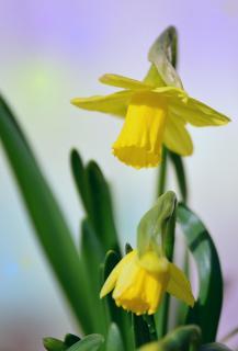 Gelbe Narzissen Narcissus pseudonarcissus