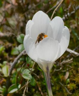 Wespe auf Krokusblüte