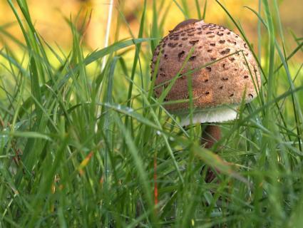 Pilzsuche in der Wiese