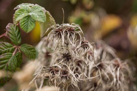 Clematis wraps blackberry