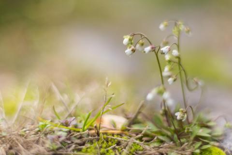 Frühlings-Hungerblümchen