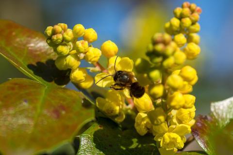 Mahonie mit Mauerbiene