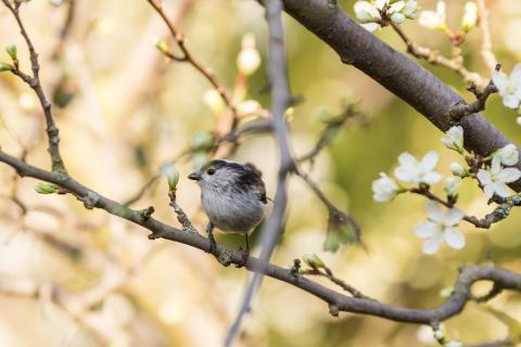 Kleiner Vogel im Zwetschgenbaum