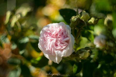 Alte Rose