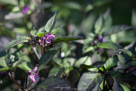 Peperoni-Blüten